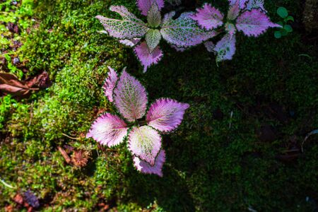 green red fancy color caladium leaves with light and shadow in the forest. Фото со стока