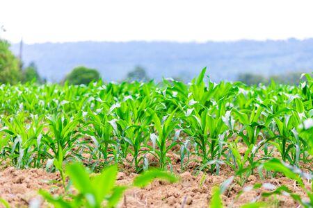 Young green corn plants on farmland