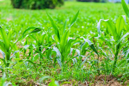 Young green corn plants on farmland. Plant Diseases.