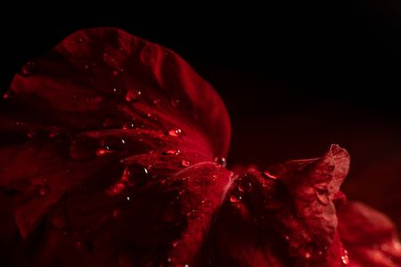 Water drop on red flower after rainy and black background.