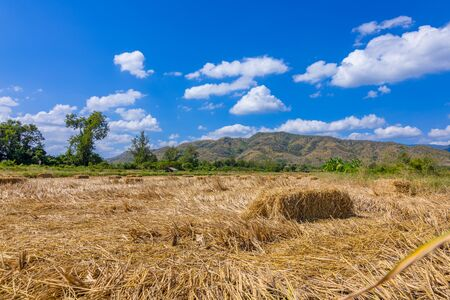 Rice straw hay in paddy field and beautiful mountain, sky nice cloud. The rice field.