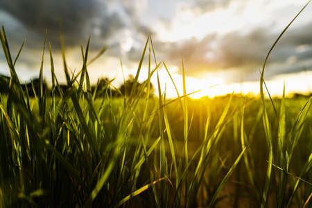 leaves green field and sunset with beautiful sky sunset. Landscape rice farm backgroung. Фото со стока
