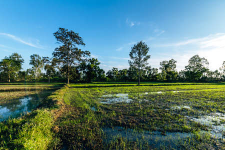 Beautiful green field of rice plant with water and blue sky in the moring. Argiculture concept. Фото со стока