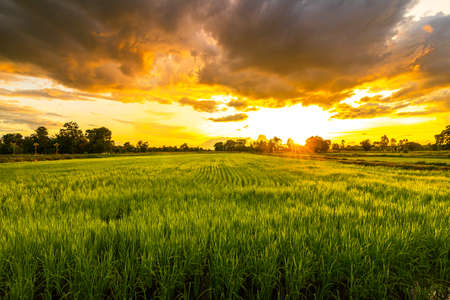 Green field and sunset with beautiful sky sunset. Landscape rice farm backgroung.