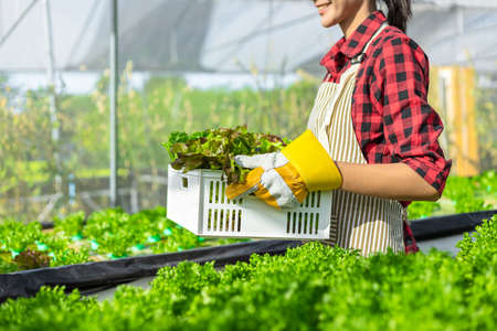 farmer ware agricultural gloves keep vegetable at hydroponic farm and observing growth vegetable meticulously before delivered to the customer.