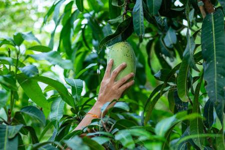 farmer hand picking mango from mango tree