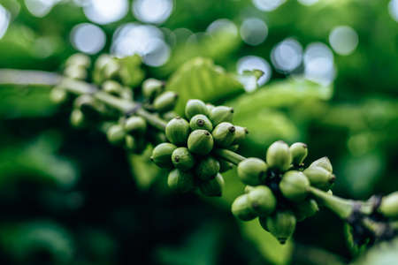 Coffee Plant. Coffee beans growing on a branch of coffee tree. Close up Branch of a coffee tree with ripe fruits.