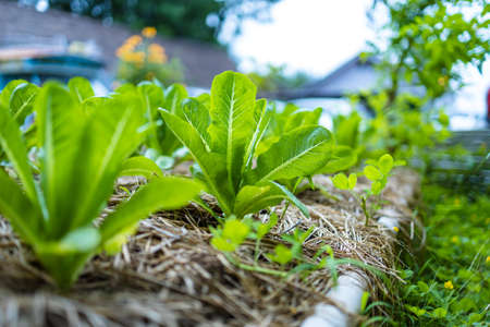 growth fresh vegetable salad garden at organic farm. Argiculture concept.
