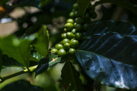 Coffee beans on the branch in coffee agriculture . Zdjęcie Seryjne