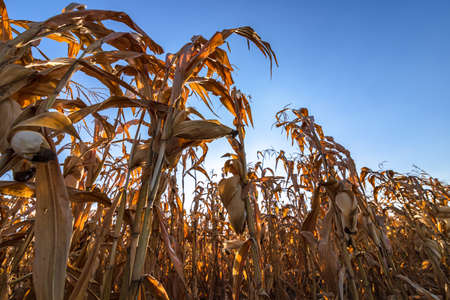 Dry corn field waiting for harvestwith the blue sky background.