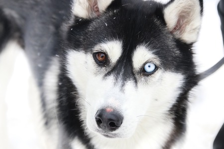 diversity, difference idea, Dog with different eye colors, blurred photo for background