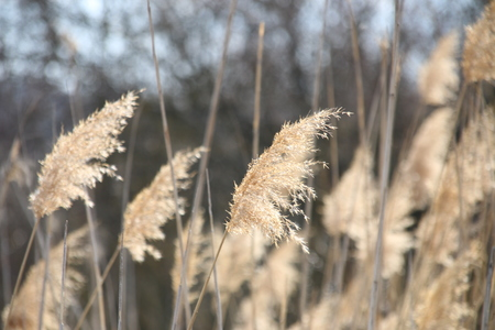 Nature, blurred photo for background, bulrush.