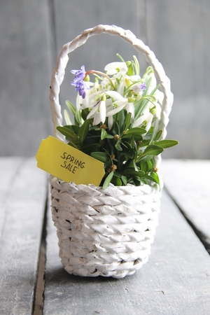 Spring sale label and snowdrops in a wicker basket