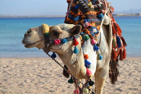 Egyptian Camel on the Red Sea_3.
