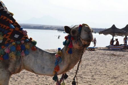 Egyptian Camel on the Red Sea