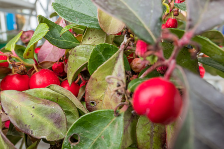 newfoundland: Close up view of eastern teaberry with focus on the background