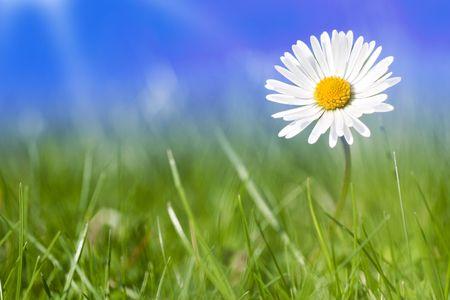 Flores de la margarita por sí solos con el cielo azul y la luz del sol