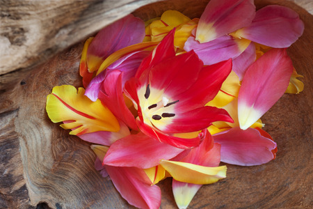 nahaufnahme: Pink tulip and petals in a rustic wooden bowl