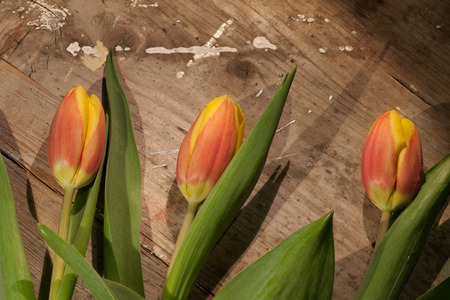 pflanze: Tulips on an antique wooden background Stock Photo