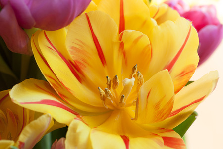 nahaufnahme: Beautiful spring flowers background with tulips