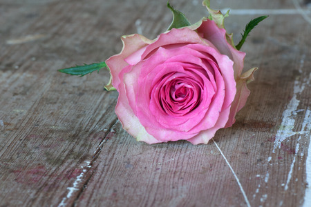 etikett: Pink rose for valentins or mothers day