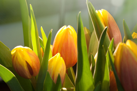 pflanze: Bouquet of tulips in sunlight Stock Photo