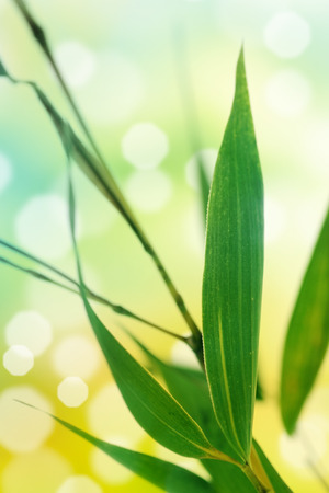 chinese bamboo: Spring background with bamboo leaves