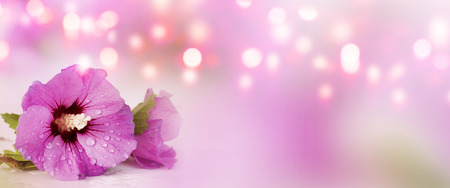 Panorama with purple hibiscus blossom in front of a Spring background for wellness