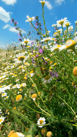 recuperation: Flower meadow with daisies and blue sky in spring Stock Photo