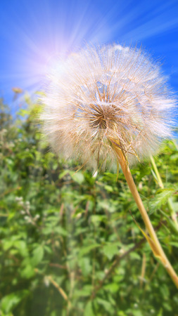 feld: Dandelion in spring in front of a a deep blue sky with sunrays