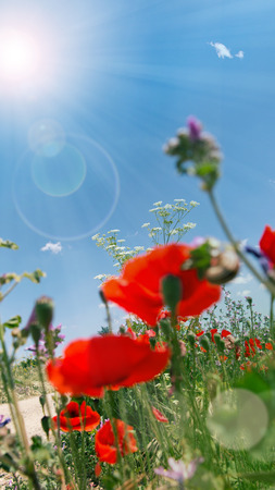 Poppies on the way at bright sunshine and bokeh in spring Stock Photo
