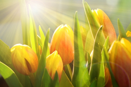 Yellow orange tulip in spring with bright sun for mothers day and easter