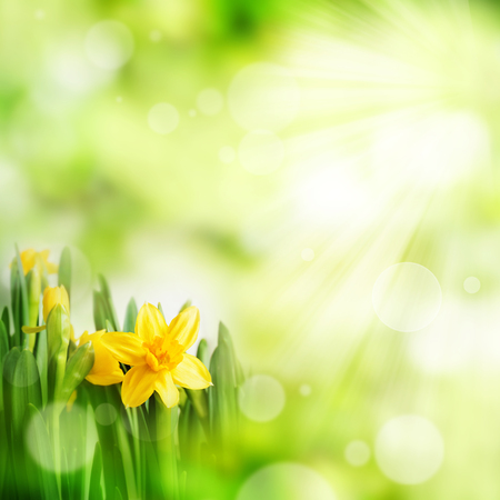 Bright green spring background with daffodils and bokeh effects