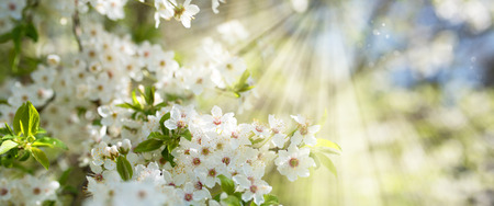 White cherry blossoms in spring sun with blue sky and tender bokeh Stock Photo