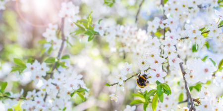 Close up bumblebee on cherry blossoms in spring with sun and bokeh Stock Photo