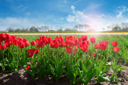 Spring landscape with tulip fields and sunny blue sky Stock Photo
