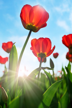 Close up of red tulips in spring with blue sky and backlight Stock Photo