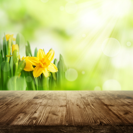Bright green spring background with daffodils in front of an empty rustic wooden table for a concept Stock Photo