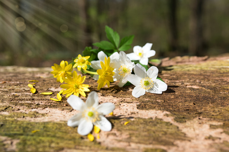 Small flowers in spring sun on a weathered tree trunk in forest
