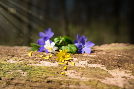 Flowers in spring on a weathered tree trunk with sun rays and bokeh