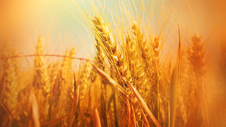 Bright orange colored autumn background with cereal field close up Stock Photo