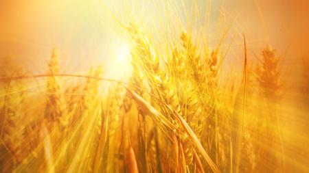 Glowing sunbeams in a golden grain field in summer or autumn Stock Photo