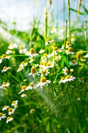 Chamomile flowers in summer with sunny bokeh