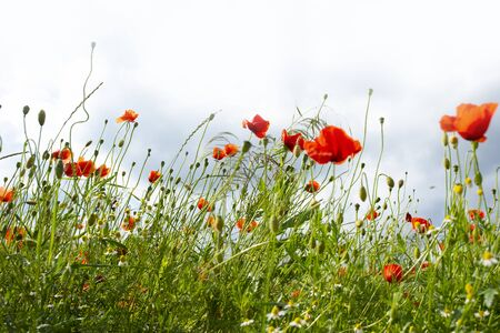 Red poppies in a flower meadow for a background