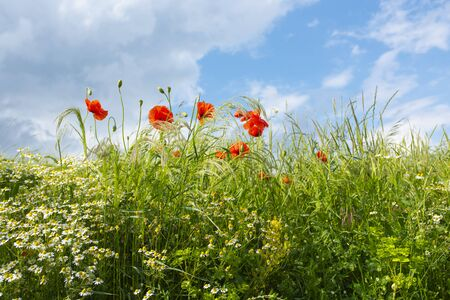 Summer meadow with red poppies and chamomile for a background