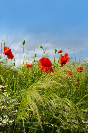 Red poppies and chamomiles in a summer meadow for a background Reklamní fotografie