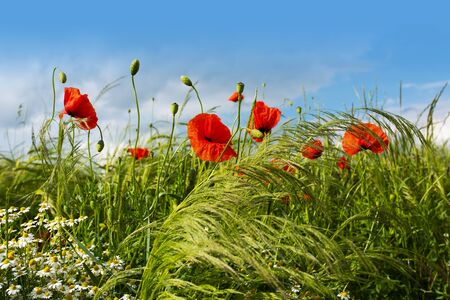 Red poppies in a summer meadow for a background