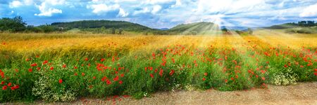 Rural summer landscape with wheat field and poppies for a background panorama
