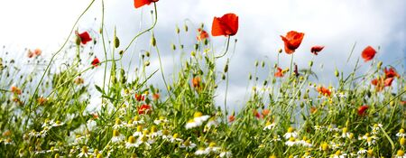Poppies and chamomile in a meadow with short depth of field for a background Stok Fotoğraf