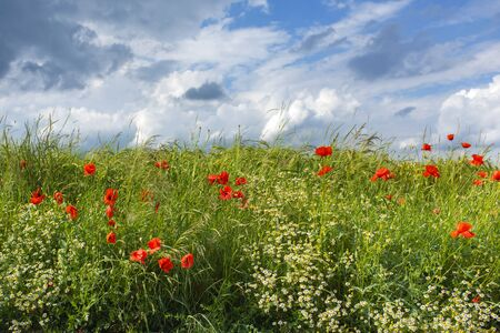 Summer meadow with red poppies and clouds on blue sky Standard-Bild - 127000290